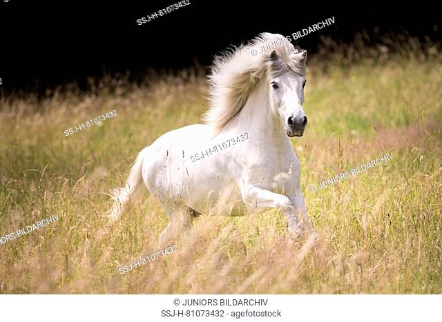 Icelandic Horse. Gray gelding galloping on a pasture. Germany