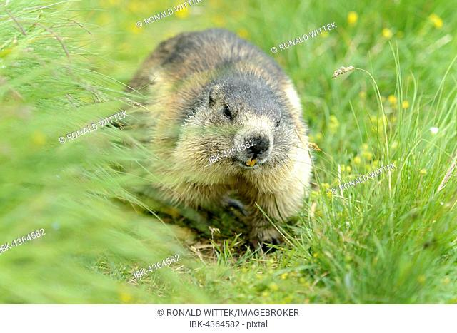 Alpine marmot (Marmota Marmota) running through meadow, High Tauern National Park, Austria