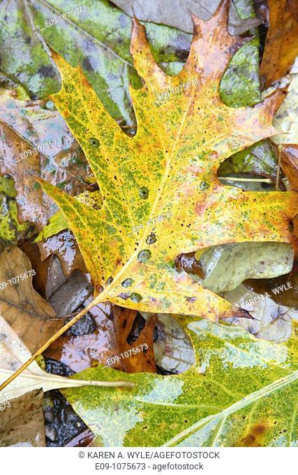 wet fallen autumn leaves on pavement, Indiana