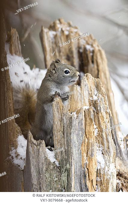 American Red Squirrel / Pine Squirrel ( Tamiasciurus hudsonicus ), in winter, sitting in a snow covered tree stump, Wyoming, USA