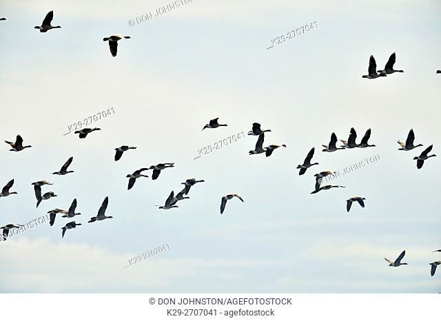 Canada goose (Branta candensis) Migratory flock in autumn, Lemberg, Saskatchewan, Canada
