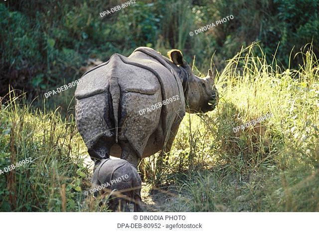 One Rhinoceros and Calf Rhinoceros unicornis , India