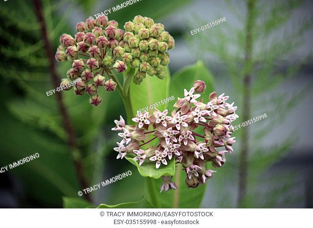 Close up of a Common Milkweed flower buds beginning to bloom