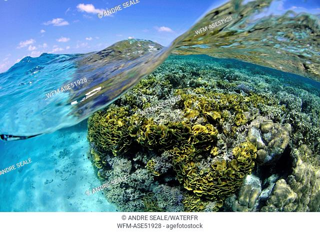 Corals in Lagoon, Turbinaria reniformis, Pohnpei, Caroline Islands, Micronesia
