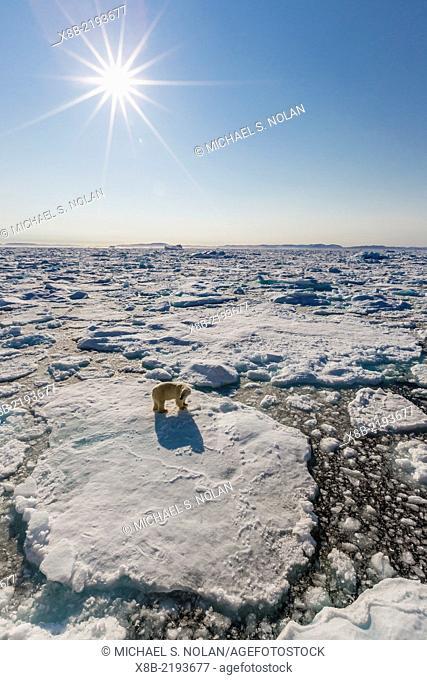 Adult polar bear, Ursus maritimus, on ice floe with sunburst, Cumberland Peninsula, Baffin Island, Nunavut, Canada