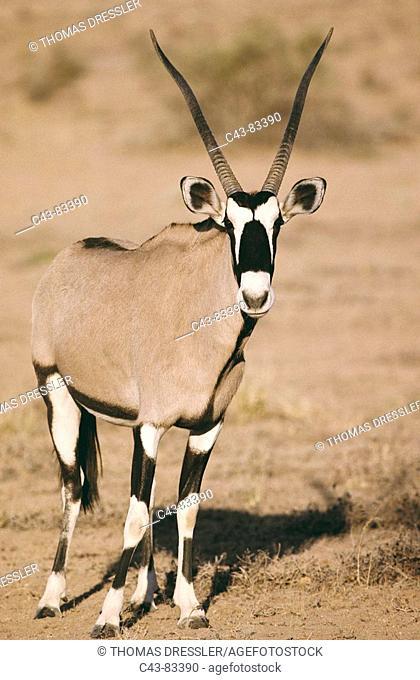 Gemsbok (Oryx gazella). Kalahari-Gemsbok National Park, South Africa