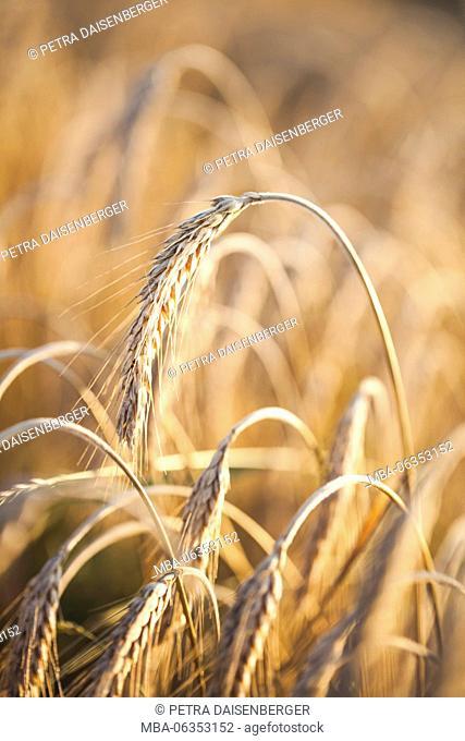 Golden ears in the sundown - wheat in the grain-field