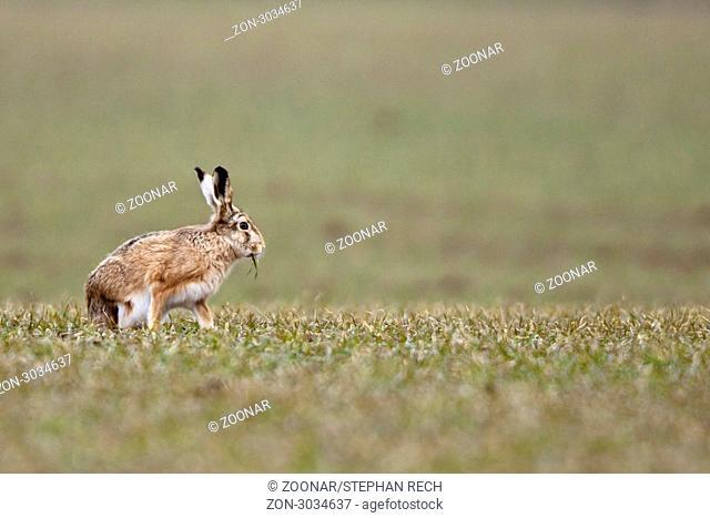 Feldhase Lepus europaeus - Rabbit Lepus europaeus