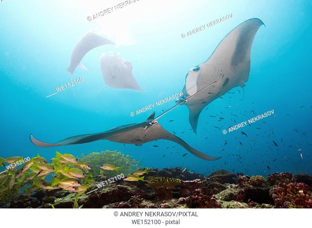 group of Giant oceanic manta ray (Manta birostris) swims in blue water, Indian Ocean, Maldive