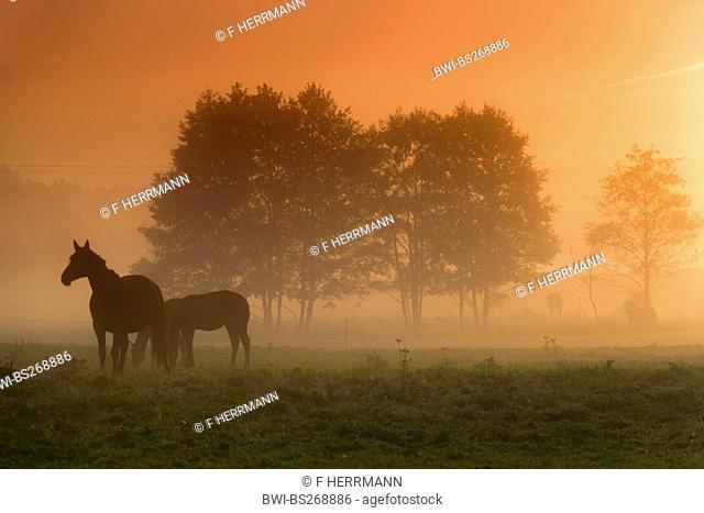 sunrise over a pasture with horses, Germany, Saxony, Vogtland, Vogtlaendische Schweiz