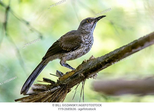 Juvenile Northern Mockingbird (Mimus polyglottos) - Camp Lula Sams, Brownsville, Texas USA