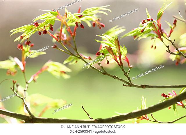 acer palmatum 'shinobuga oka' in Spring, hope and vitality