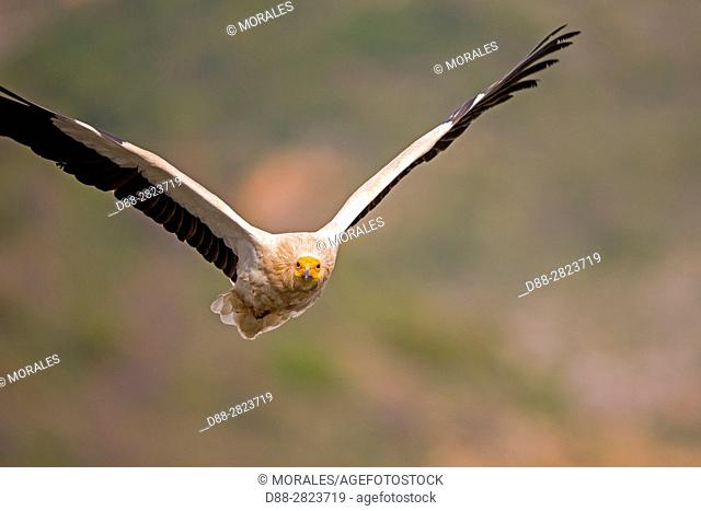 Spain, Catalonia, Province of Lleida, Egyptian vulture (Neophron percnopterus), in flight