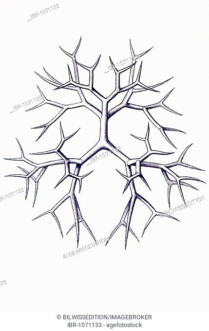 Radiolarian Stock Photos And Images