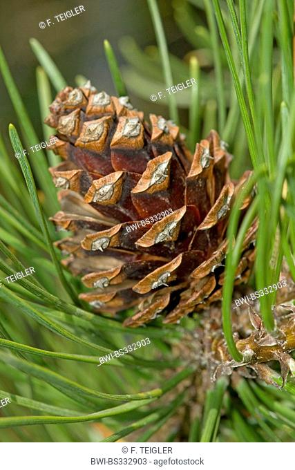 Mountain pine, Mugo pine (Pinus mugo), cones, Germany