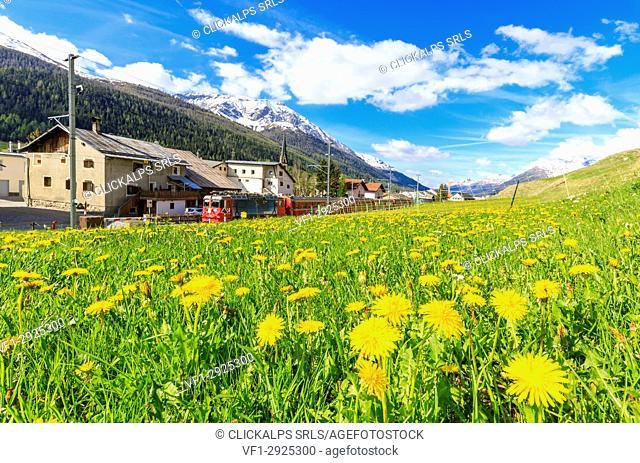 Bernina Express train surrounded by meadows of yellow flowers, S-chanf, canton of Graubünden, Maloja Region, Switzerland, Europe