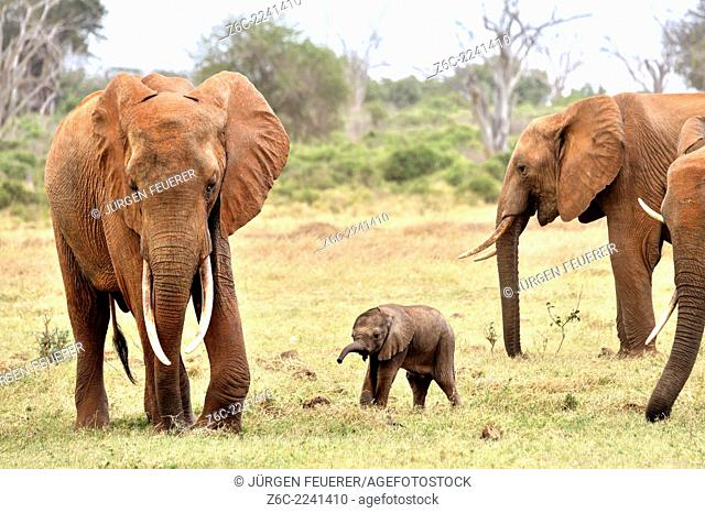 Very young Elephant Baby, loxodonta africana, playing around with its family, Tsavo East National Park, Kenýa