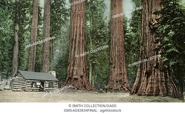 Postcard showing a cabin situated among a forest of giant sequoias, California, 1907. From the New York Public Library
