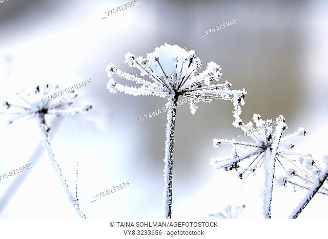 Hoarfrost or advection frost and little snow over Anthriscus sylvestris, Cow parsley plant in winter