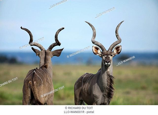 Greater Kudu Tragelaphus strepsiceros ram, Chobe National Park, Botswana