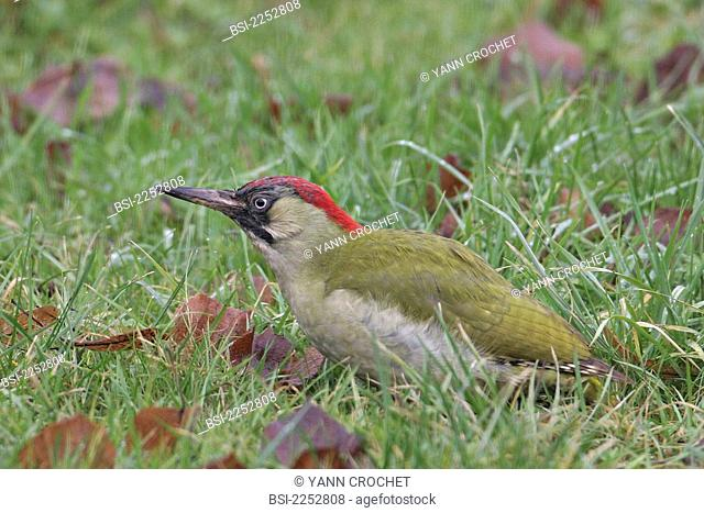 Eurasian green woodpecker Eurasian green woodpecker Perdix perdix, picture taken in Oise, France. Picus viridis  Eurasian green woodpecker  Woodpecker  Picid...