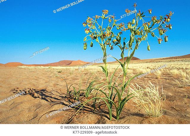Hexacyrtis dickiana, Family Colchicaceae. Namib-Naukluft. Namibia