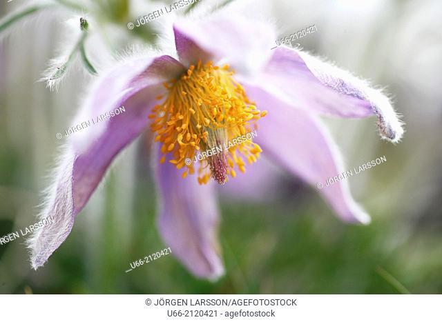 Pasque flower, Stenshuvud National Park, Skåne, Sweden