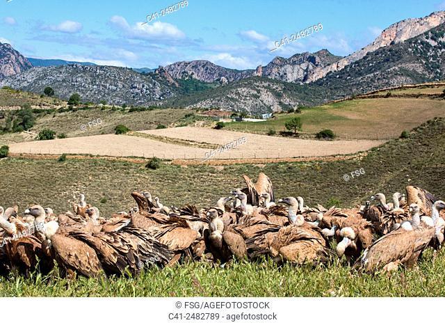 Feeding vultures. . La Torre de Tamúrcia. La Terreta. Lleida, Spain