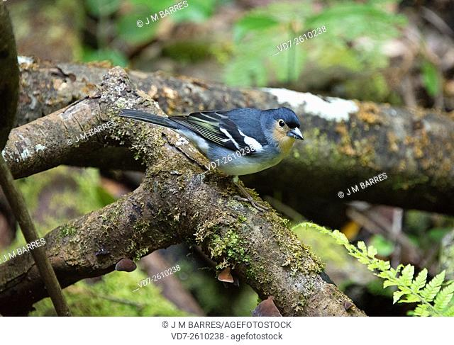La Palma chaffinch (Fringilla coelebs palmae) is one finch endemic from La Palma, Canary islands. This picture wase taken in Los Tilos Biosphere Reserve