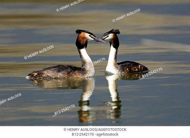 Great Crested Grebe - Podiceps cristatus, Couple, France