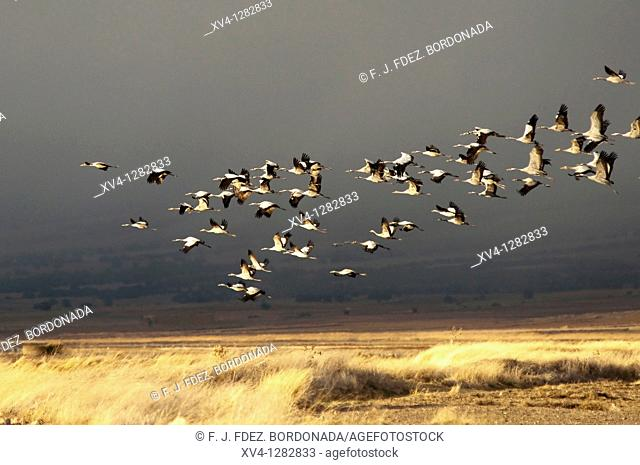 Gallocanta Lagoon  Winter migration of Common Cranes Grus grus  Zaragoza  Aragon  Spain