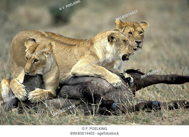 lion (Panthera leo), tree lioness with killed African buffalo, Kenya
