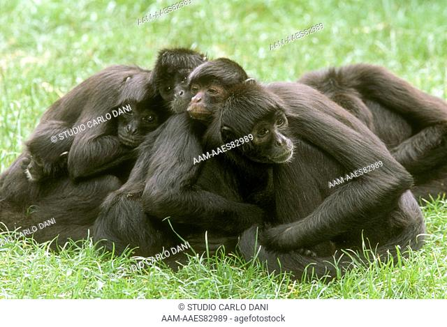 Spider Monkey Group (Ateles Geoffroyi Rufiventris)