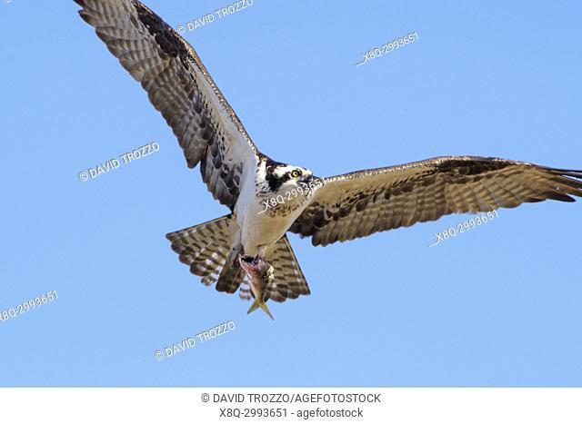 """Osprey, Haliaetus pandion, also known as a sea hawk, fish eagle, sea hawk, river hawk, and fish hawk . """" is a diurnal, fish-eating bird of prey"""