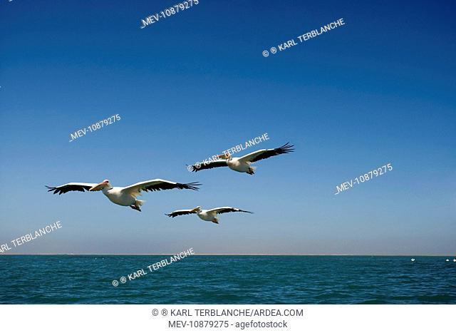 Great White Pelicans - in flight over the ocean (Pelecanus onocrotalus). Atlantic Ocean - Namibia - Africa