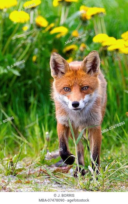 Fox in front of dandelion flowers