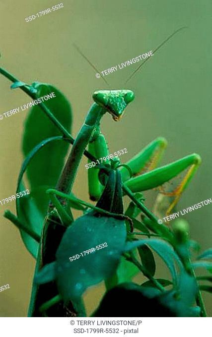 Close-up of a praying mantis Mantis religiosa on a plant