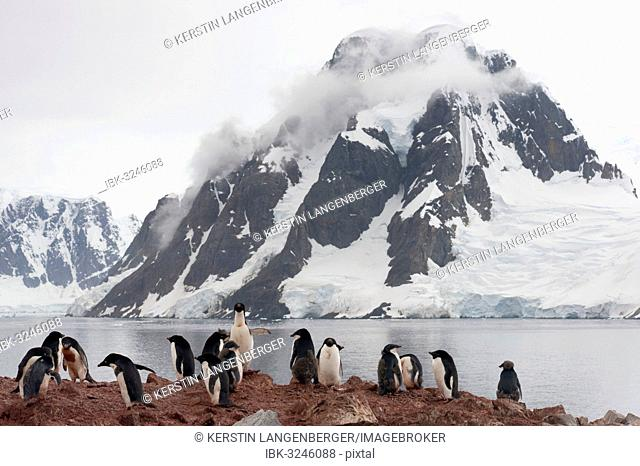 Colony of Adélie Penguins (Pygoscelis adeliae), adult birds and fledglings during the juvenile moult, in front of a backdrop of mountains and glaciers