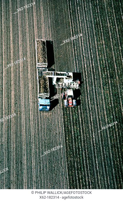 Sugar beet harvest. North California, USA