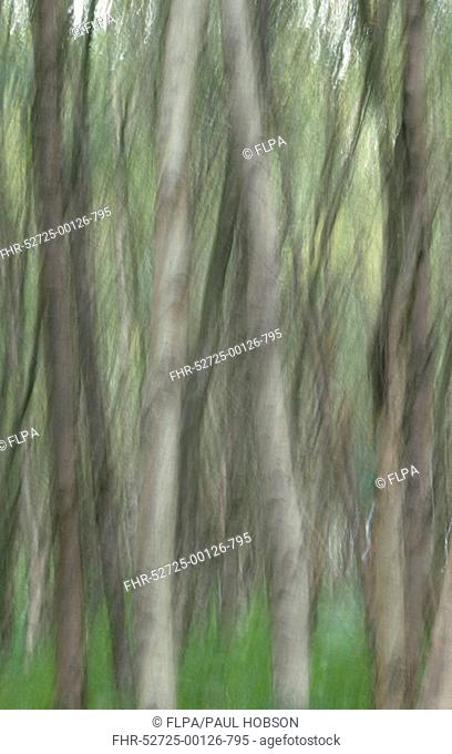 Deciduous woodland, blurred image of birch betula sp forest, South Yorkshire, England