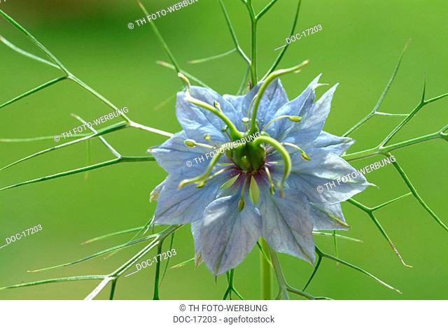 Black cumin - Love-in-a-mist - Nigella sativa - medicinal plant - herb - spice - blossom - Danigella scapigliata