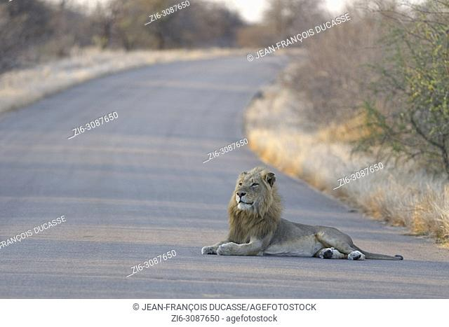 African lion (Panthera leo), adult male lying in the middle of a tarred road at sunset, head up, Kruger National Park, South Africa, Africa