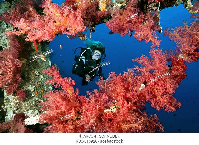 diver and softcorals at wreck Cedar Pride, Aqaba, Jordania, Minor Asia Red Sea / Aqaba