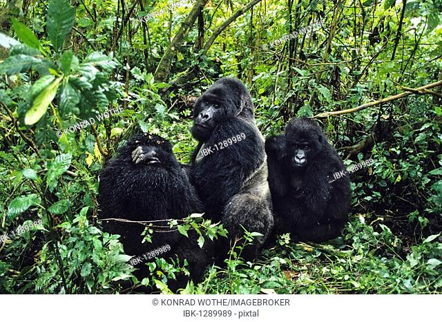 Mountaingorillas (Gorilla beringei), Virunga National Park, Zaire, Africa