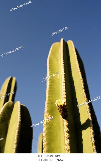 Cactus Flower;Aguascalientes Aguascalientes Mexico