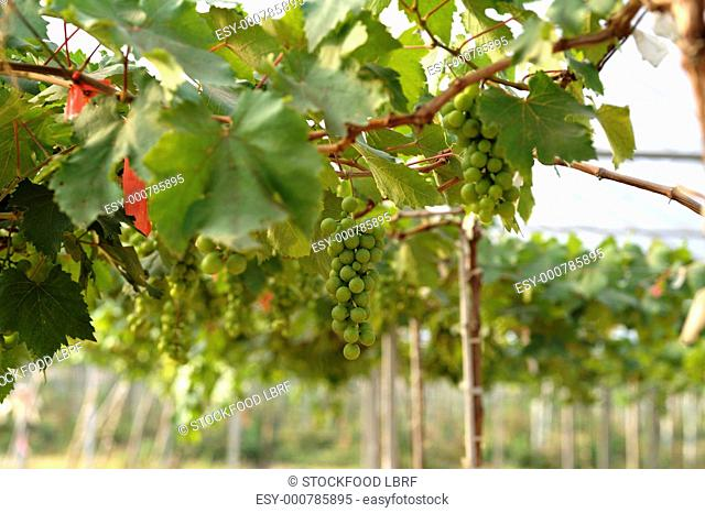 Wine growing in Thailand vines with green grapes