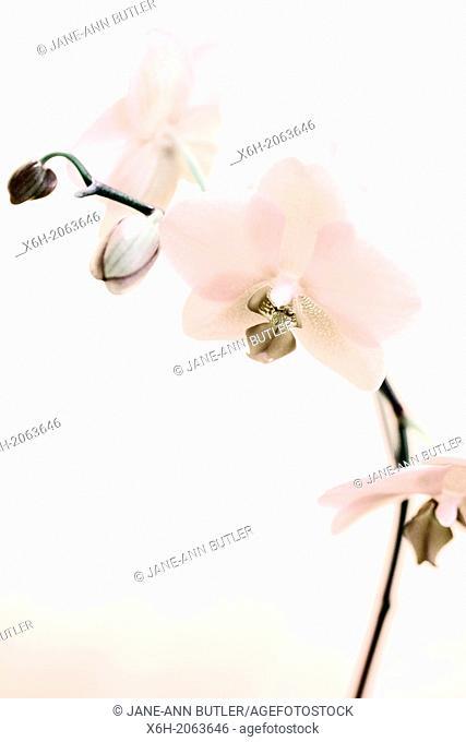 a lovely feminine single stem orchid - sepia toned