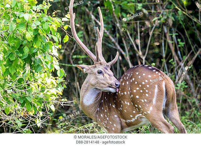 Sri Lanka, Northwest Coast of Sri Lanka, Wilpattu National Park, Chital or Cheetal or Chital deer, Spotted deer or Axis deer( Axis axis), adult male