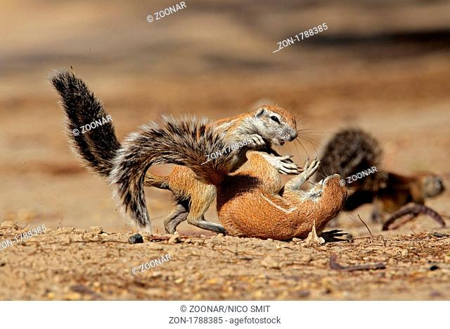 Two young, playful ground squirrels Xerus inaurus, Kgalagadi Transfrontier Park, South Africa