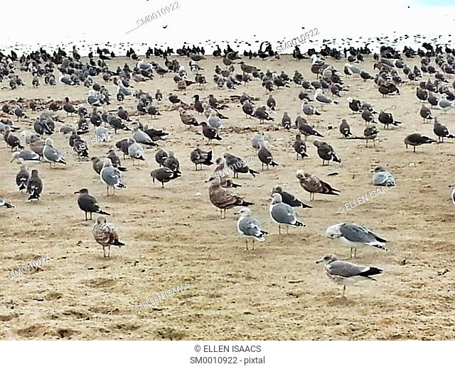 Large flock of gray, black, and brown seagulls standing on a sandy beach